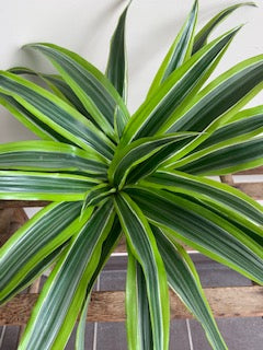 "Dracaena  ""Lemon Lime"""