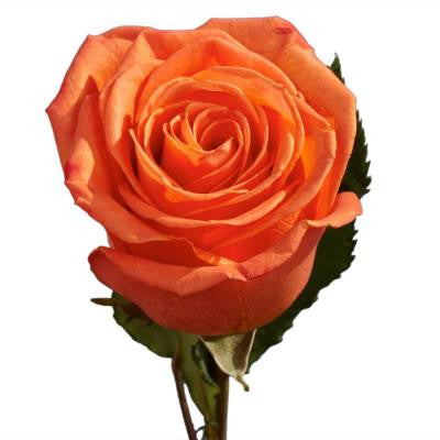 Orange Color Roses (250 Stems) Includes Free Shipping