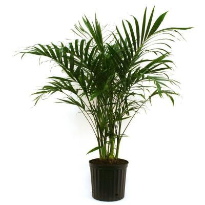 9-1/4 in. Cateracterum Palm in Pot