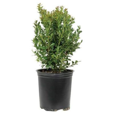 2.5 Qt. Compacta Japanese Holly