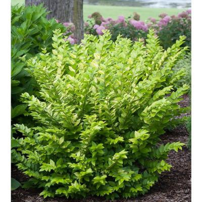 3 Gal. Golden Ticket Ligustrum ColorChoice Privet Shrub