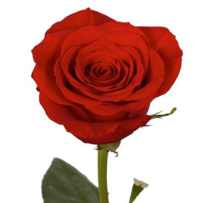 Red Roses (75 Extra Long Stems) Includes Free Shipping
