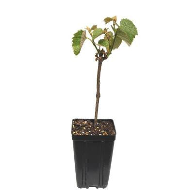 Concord Seedless Grape Fruit Bearing Potted Vine