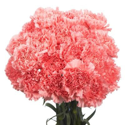 Pink Carnations (200 Stems) Includes Free Shipping