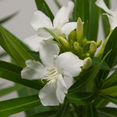 3 Gal. Double Yellow Oleander