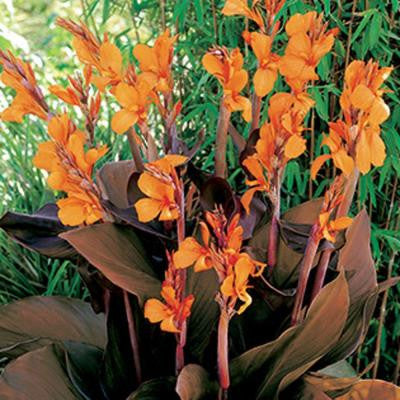Canna Wyoming Dormant Bulbs (6-Pack)