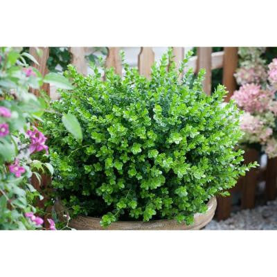 1 Gal. Sprinter Boxwood Buxus ColorChoice Shrub