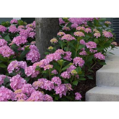 3 Gal. Let's Dance Moonlight ColorChoice Re-Blooming Hydrangea
