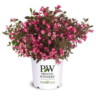 Wine and Roses ColorChoice Weigelia 1 gal. Shrub