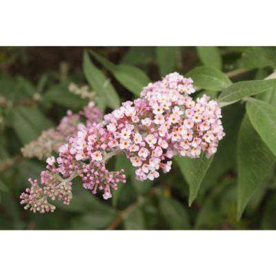 Inspired Pink ColorChoice Buddleia 1 gal. Butterfly Bush Shrub