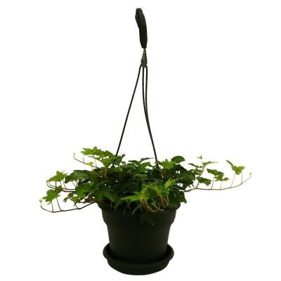 Hedera Ivy in 6 in. Hanging Basket