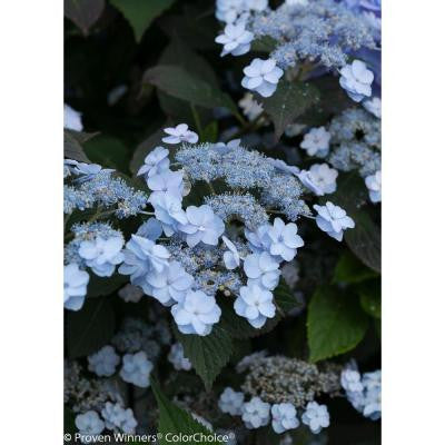 Tiny Tuff Stuff ColorChoice Hydrangea - 1 Gal. Mountain Shrub