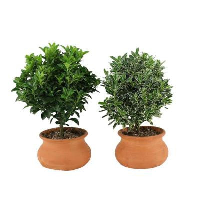 4 in. Clay Washpot Euonymus Green and Variegated Pair