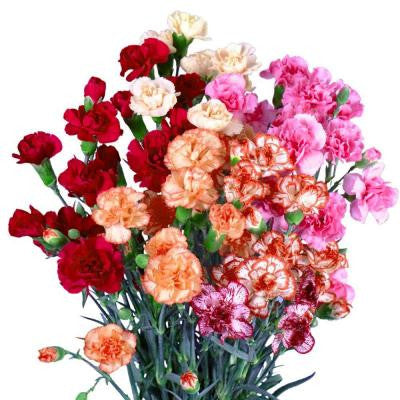 Novelty Color Spray Carnations (160 Stems - 640 Blooms) Includes Free Shipping