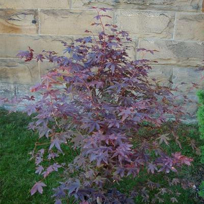 1 gal. Bloodgood Red Japanese Maple Tree