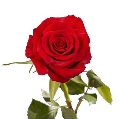 Dark Red Color Roses (250 Stems) Includes Free Shipping