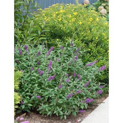 3 Gal. Miss Violet Buddleia ColorChoice Butterfly Bush Shrub