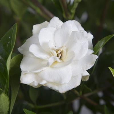 2.5 Qt. August Beauty Gardenia