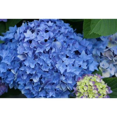 3 Gal. Let's Dance Rhythmic Blue ColorChoice Re-Blooming Hydrangea