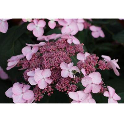 Let's Dance Starlight ColorChoice Hydrangea 4.5 in. Quart