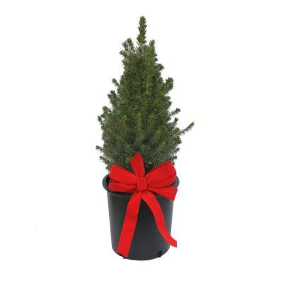 2 Gal. Dwarf Alberta Spruce with Bow