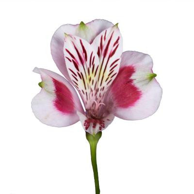 Alstroemeria Flowers (100 Stems - 400 Blooms) Includes Free Shipping
