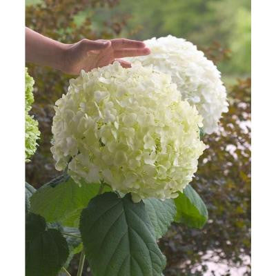 Incrediball ColorChoice Hydrangea 1 Gal. Butterfly Bush Shrub