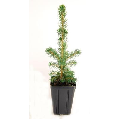 Colorado Spruce Potted Evergreen Tree