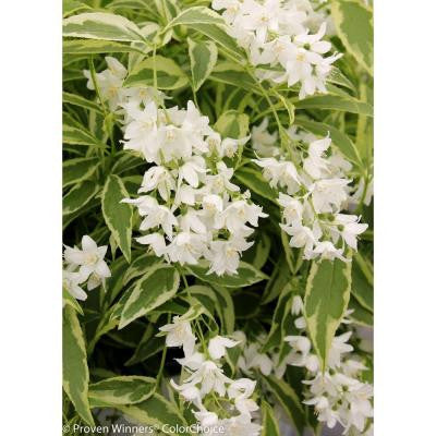 Creme Fraiche Deutzia 4.5 in. Quart
