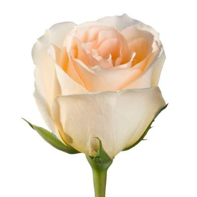 Peach Color Roses (100 Stems) Includes Free Shipping