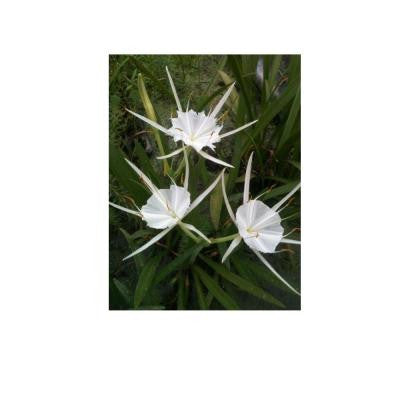 4 in. Spider Lily Potted Bog/Marginal Pond Plant