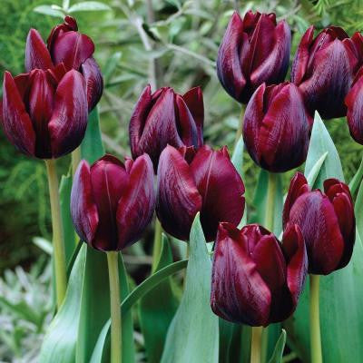 Tulip Ronaldo Dormant Bulbs (50-Pack)