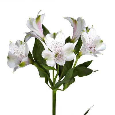 White Alstroemeria Flowers (100 Stems - 400 Blooms) Includes Free Shipping