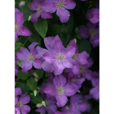 1 Gal. Jolly Good Clematis ColorChoice Vine