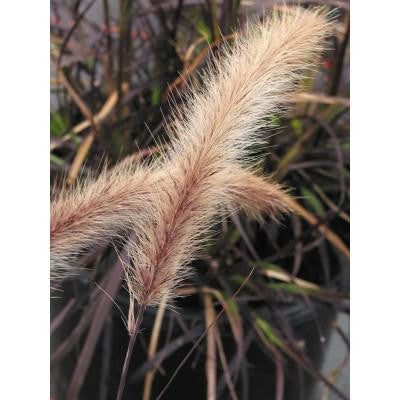 4.5 in. Quart Graceful Grasses Purple Fountain Grass
