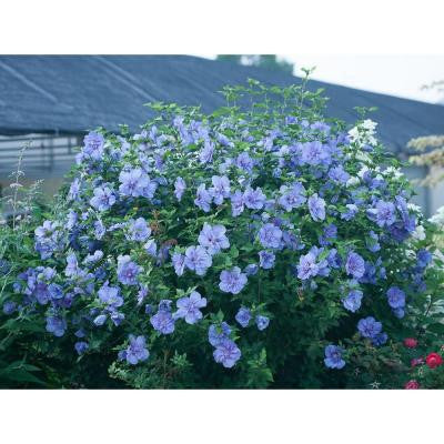 3 Gal. Chiffon Blue Rose of Sharon Hibiscus ColorChoice Shrub
