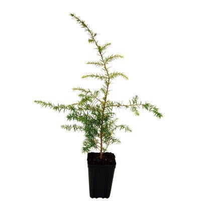 1 qt. Canadian Hemlock Christmas Tree