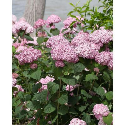 3 Gal. Incrediball Blush ColorChoice Smooth Hydrangea