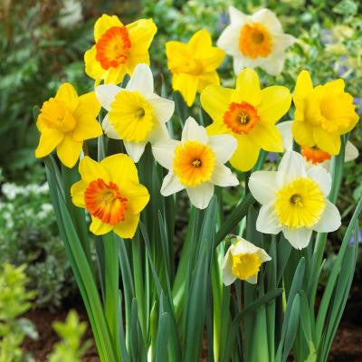 Large Cupped Daffodil Mix Flower Bulb (20-Pack)