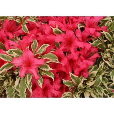 BollyWood ColorChoice Rhododendron 4.5 in. Quart