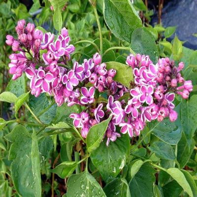 3 gal. Bicolor Sensation Common Lilac Shrub