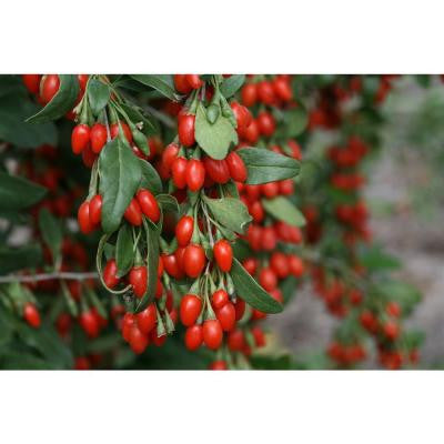3 Gal. Sweet Lifeberry Lycium ColorChoice Goji Berry Shrub