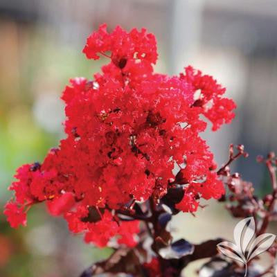 4 in. x 4 in. x 10 in. Crape Myrtle Best Red Container