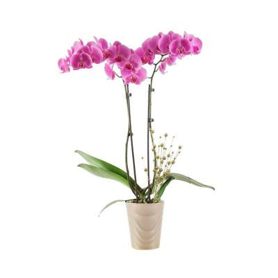 5 in. Orchid in Holiday Ceramic