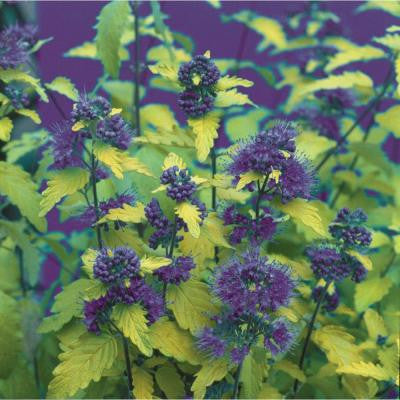 Sunshine Blue Caryopteris ColorChoice 4.5 in. Quart