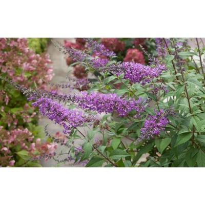 3 Gal. Inspired Violet Buddleia ColorChoice Butterfly Bush Shrub