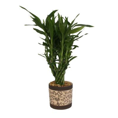 Lucky Bamboo Medium in 4 in. Sand Tamar Pot