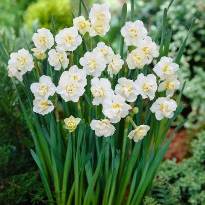 Daffodil Cheerfulness Dormant Bulbs (20-Pack)
