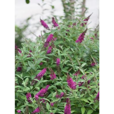 3 Gal. Miss Molly Buddleia ColorChoice Butterfly Bush Shrub