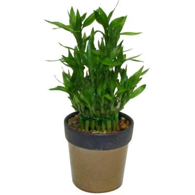 Lucky Bamboo in 5 in. Danice Beige Pot